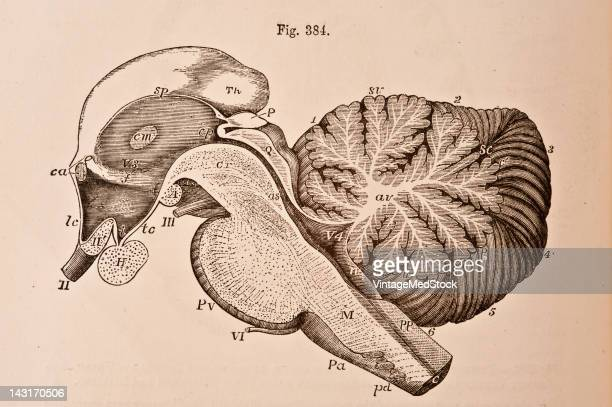 A medical illustration from 'Quain's Elements of Anatomy Eighth Edition VolII' depicts the right half of the encephalic peduncle and cerebellum as...