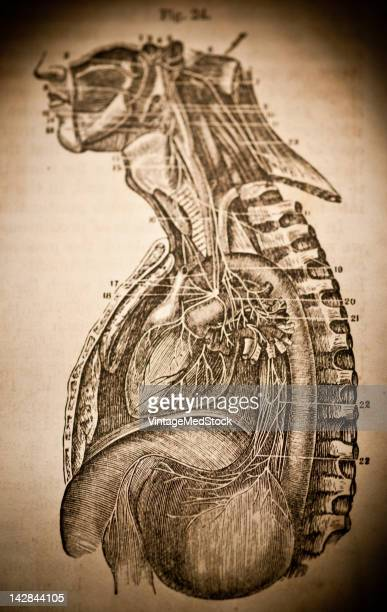 A medical lithograph from 'A System of Human Anatomy Including its Medical and Surgical Relations' illustrates anatomy of the human upper torso 1883