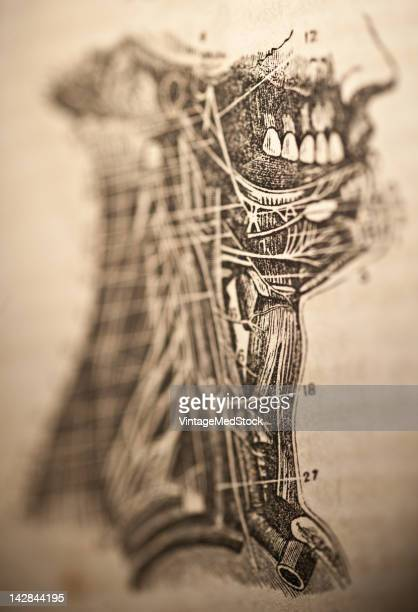 A medical lithograph from 'A System of Human Anatomy Including its Medical and Surgical Relations' illustrates the anatomy of the human neck and face...