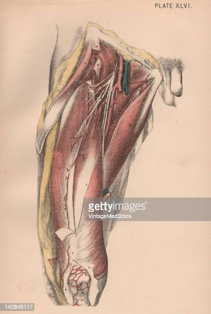 A medical lithograph from 'Illustrations of Dissections' illustrates the muscular and cardiovascular systems of the human thigh 1882
