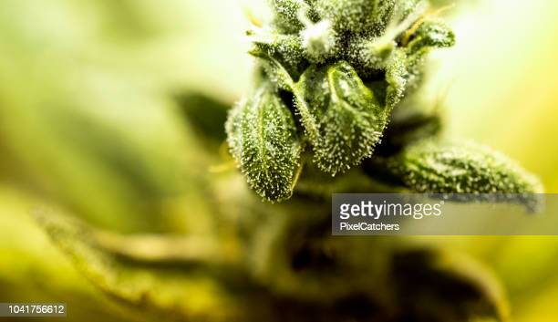 medical marijuana plant closeup - medical cannabis stock pictures, royalty-free photos & images