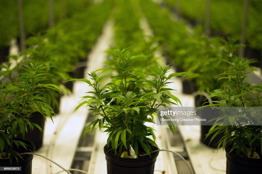 Medical marijuana plants grow in a climate controlled growing room : Foto de stock