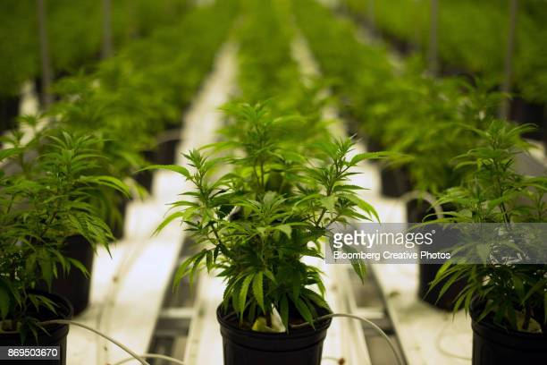 medical marijuana plants grow in a climate controlled growing room - cannabis plant stock photos and pictures
