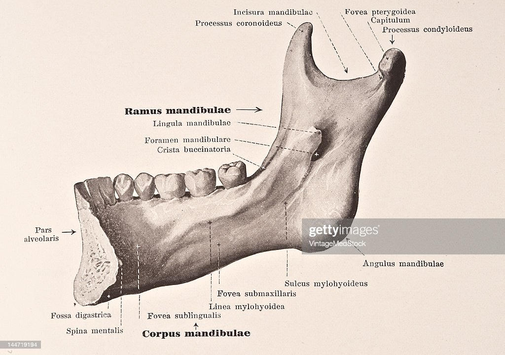 Lower Jaw Bone II Pictures | Getty Images