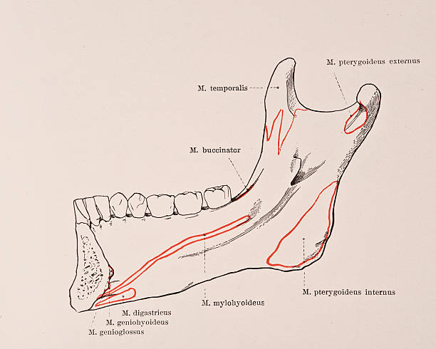 Lower Jaw Bone Iv Pictures Getty Images