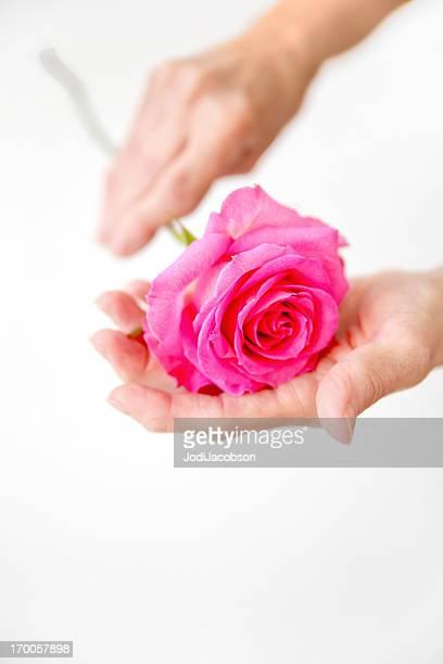 Medical: Rheumatoid Arthritis:Arthritic Seniors hands holding a rose