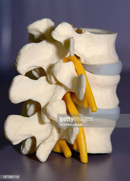 medical - side view spinal column & cord model - human vertebra stock pictures, royalty-free photos & images
