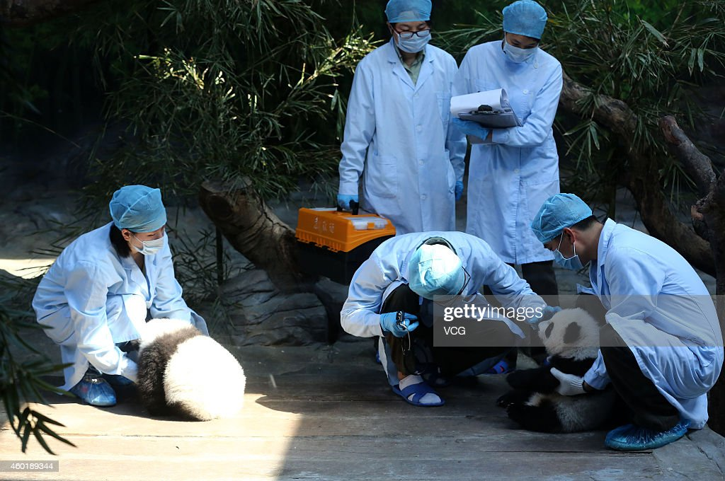 Medical staff examine the world's only live panda triplets at Chimelong Safari Park on December 9, 2014 in Foshan, China. The world's only live giant panda triplets (two boys and one girl) started living together with their mother, giant panda Juxiao, after taking turns living with her since their birth at the Chimelong Safari Park on Tuesday. The triplets were born on July 29 and after over 100 days they now all weigh over 8 kg and are doing well. They will stay with their mother and meet with visitors at 13:00 - 15:00 and 16:00 - 18:00 from Tuesday.