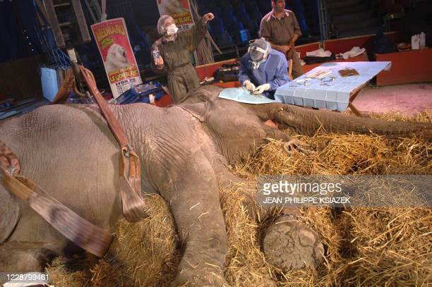 A medical team operates the cataract of 41yearold female elephant Lechme on a haybed at Medrano circus 19 October 2007 in Lyon The team including...
