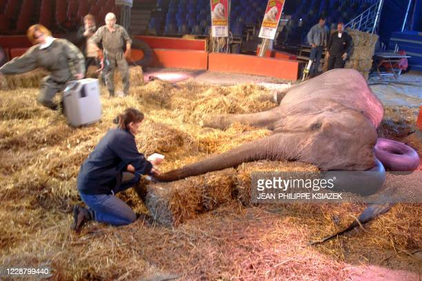A medical team prepares to operate the cataract of 41yearold female elephant Lechme on a haybed at Medrano circus 19 October 2007 in Lyon The team...