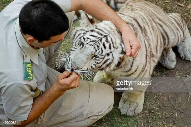 Medicating a white Bengal tiger