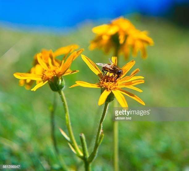 medicinal herb Arnica montana leopard's bane wolf's bane mountain tobacco mountain arnica