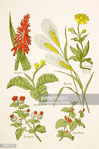 Medicinal Herbs And Plants Clockwise From Top Left Aloes Arnica Barley Balm Mint Burdock Arrow Root From Virtue's Household Physician Published...