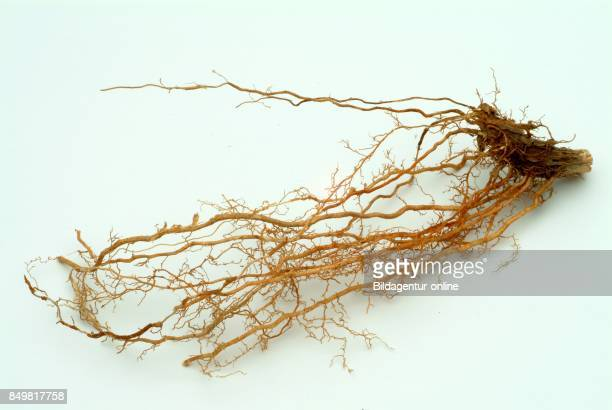 Medicinal Plant Dried Leaves and Roots Of Chrysopogon Zizanioides Commonly Known As Vetiver