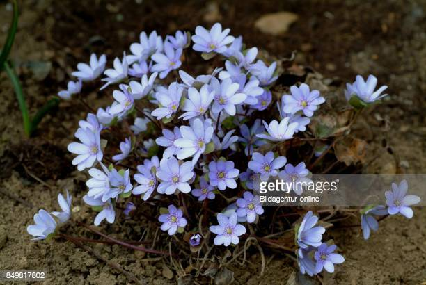 Medicinal Plant Liverwort Liverwort Stem Erba Trinita Hepatika Hepatika Nobilis Anemone Hepatica Pennywort