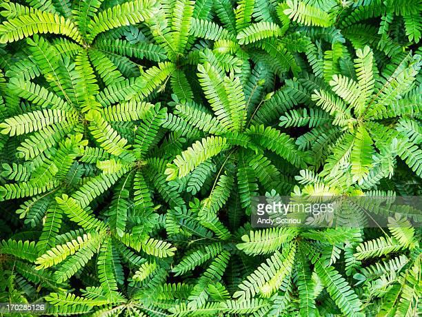 Medicinal Plant (Biophytum Sensitivum)
