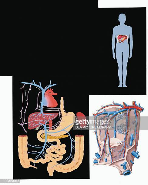 Medicine Anatomy Digestive system Anatomic relationship between liver and its contiguous organs Drawing