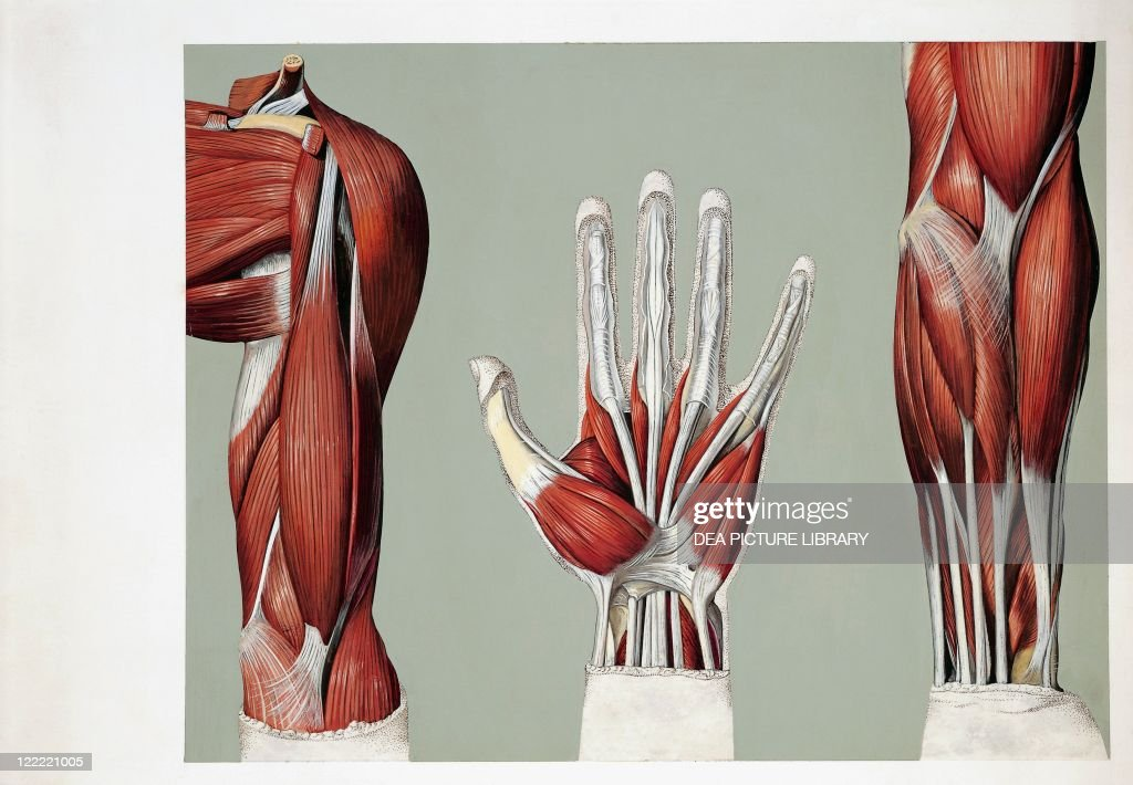 Medical illustration of Muscular system, Anterior arm, palm of hand ...