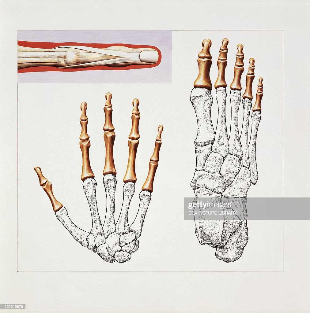 Medicine Anatomy Musculoskeletal System Skeleton Hand And