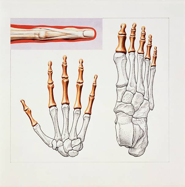 Musculoskeletal Locomotor System Skeleton Hand And Foot Drawing