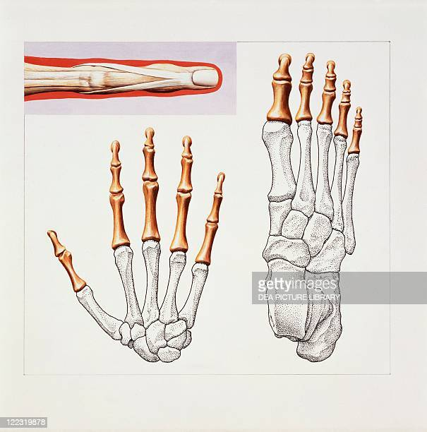 Medicine Anatomy Musculoskeletal system Skeleton Hand and foot Drawing