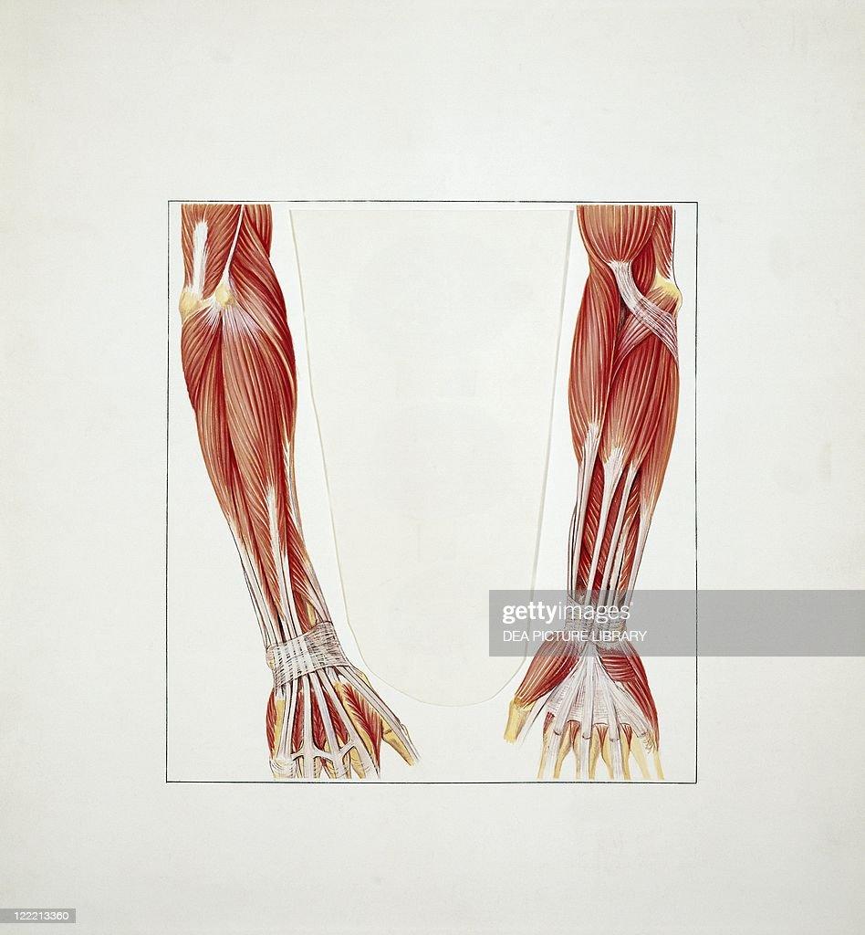 Medicine Anatomy Musculoskeletal System Skeleton Upper Limb