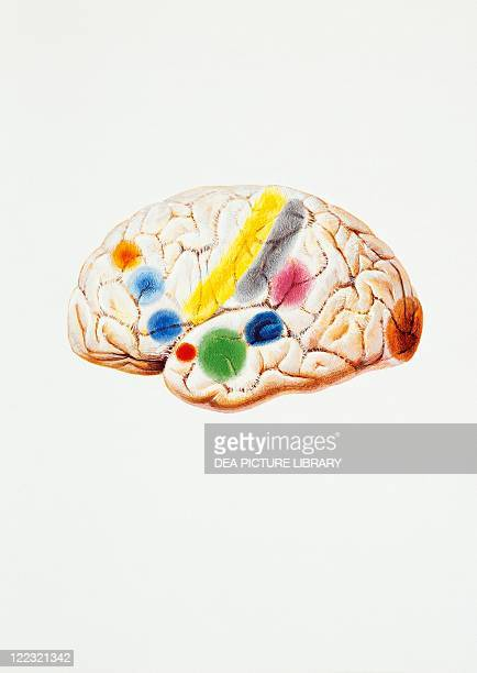 Medicine Anatomy Pathology Nervous system Brain Aura schematic topography Drawing