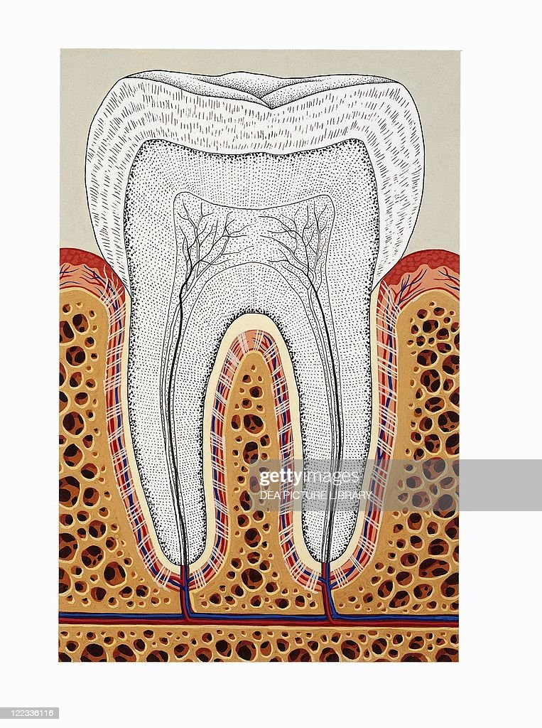 Tooth Structure Periodontium Cross Section Drawing Pictures