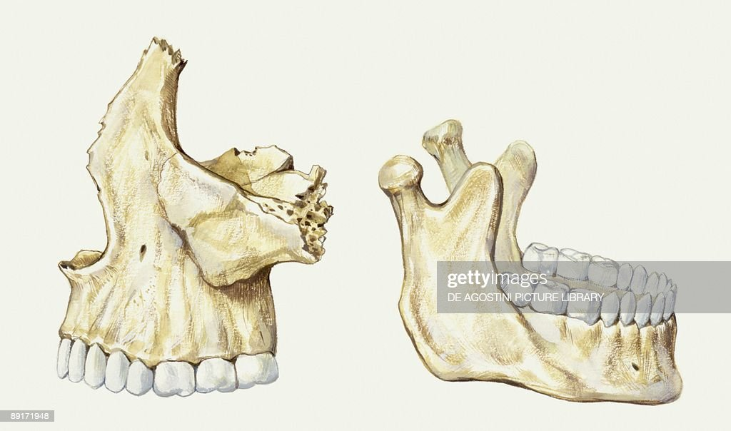 Medicine Human Body Maxilla Upper And Lower Bones Illustration