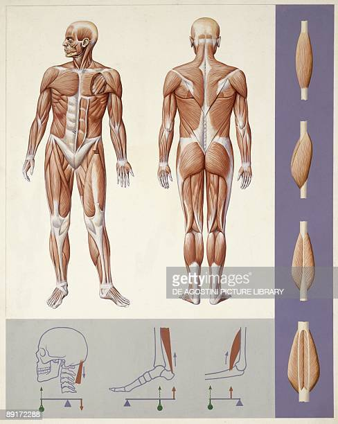 Medicine Muscular system locomotor apparatus illustration