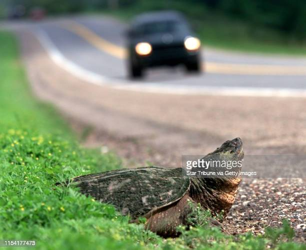 Medina MN May and June are the months when turtles in Minnesota emerge from their wetland homes searching for a dry spot to lay their eggs...