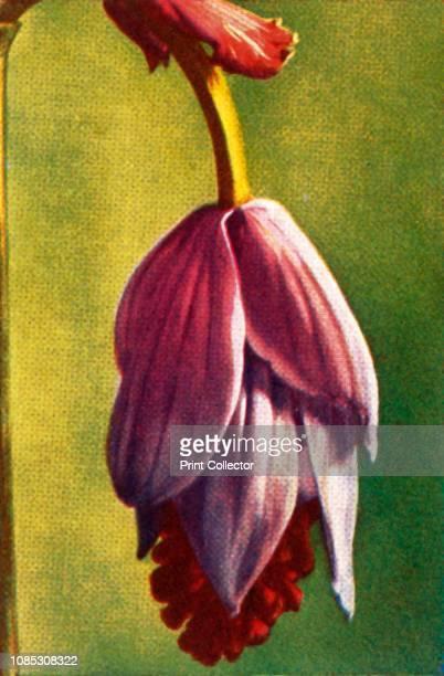 Medinilla circa 1928 Flower of the genus Medinilla native to the Philippines From Die Welt in Bildern cigarette card album circa 1928 [Georg A...