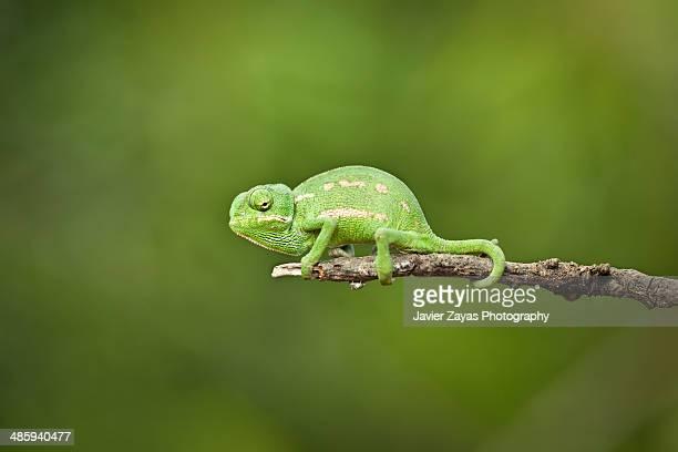 mediterranean chameleon - camaleon mediterraneo - camaleonte foto e immagini stock