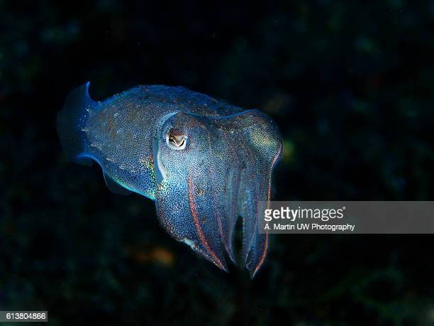 mediterranean cuttlefish - sepia stock pictures, royalty-free photos & images