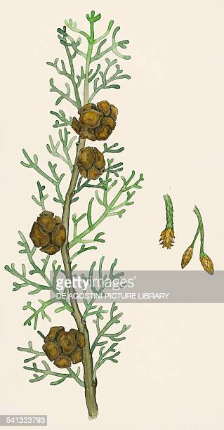 Mediterranean cypress cones foliage and flowers Cupressaceae drawing