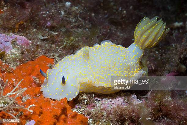 Mediterranean Dorid Slug, Hypselodoris elegans, Tamariu, Costa Brava, Mediterranean Sea, Spain