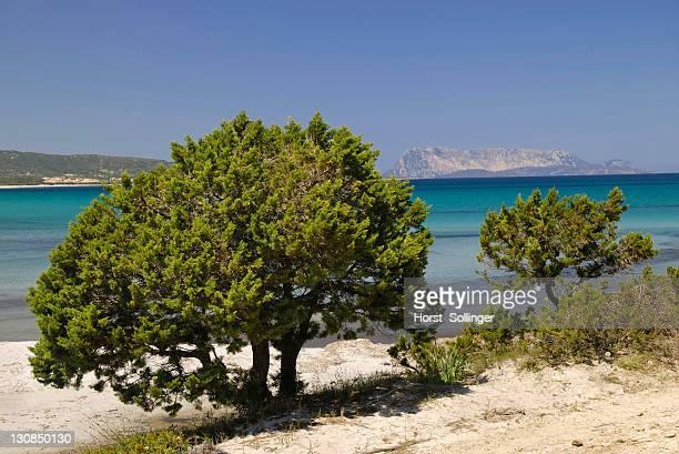 Mediterranean dwarf cypress (Cupressa sp) on sandy coastline, Santa Anna, Pineta, Sardinia, Italy, Europe
