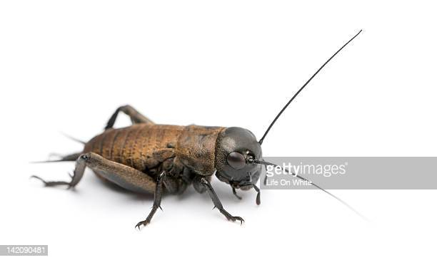mediterranean field cricket - cricket insect photos stock pictures, royalty-free photos & images
