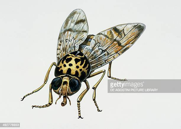 Mediterranean fruit fly Tephritidae Artwork by Tim Hayward