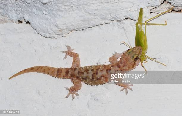 60 Top Mediterranean House Gecko Pictures Photos Images Getty