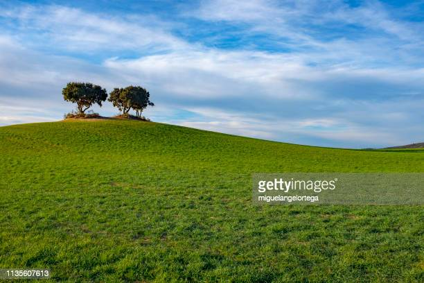 mediterranean landscape: holm oaks on a hill over a field of barley - escena rural fotografías e imágenes de stock