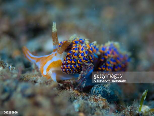 mediterranean nudibranch (godiva quadricolor) - lady godiva stock pictures, royalty-free photos & images