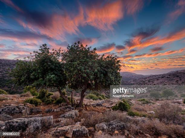 Mediterranean Oak at Sunset