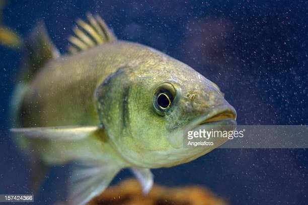 mediterranean seabass - bass fishing stock pictures, royalty-free photos & images