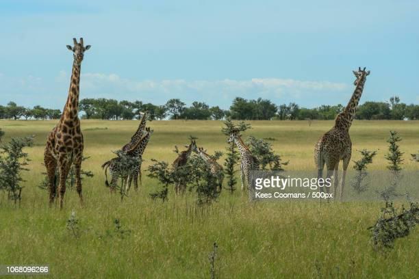 medium group of giraffes - afrika afrika stock pictures, royalty-free photos & images
