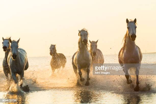 medium group of white horses running in the ocean. - animals in the wild stock pictures, royalty-free photos & images