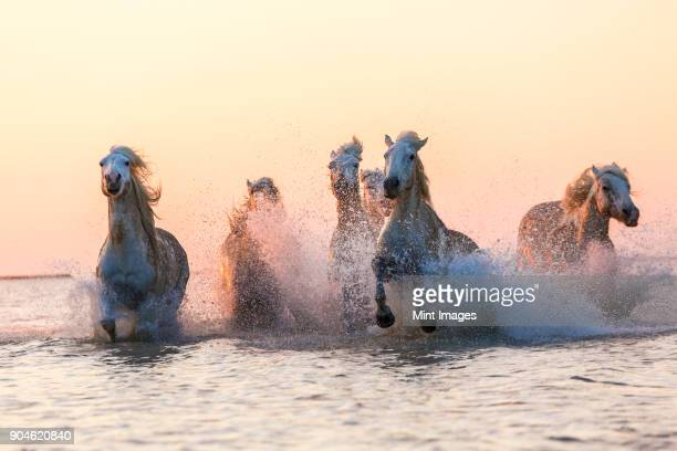 medium group of white horses running in the ocean. - horses running stock pictures, royalty-free photos & images