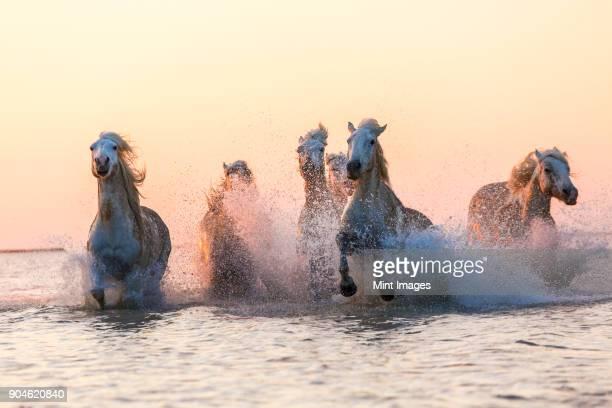 Medium group of white horses running in the ocean.