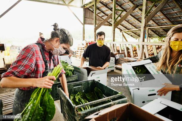 medium shot of farmers wearing protective face masks filling csa boxes with fresh organic vegetables on farm - medium group of people photos et images de collection