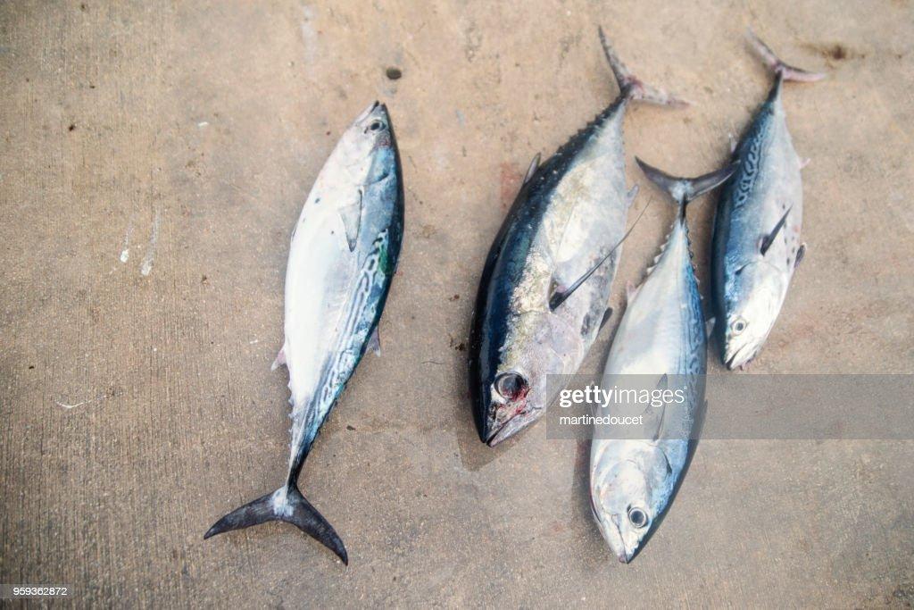 Peces de atún y bonito fresco de tamaño medio. : Foto de stock